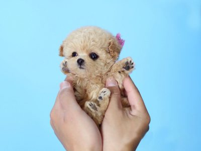 Minnie CreamMicro Poodle