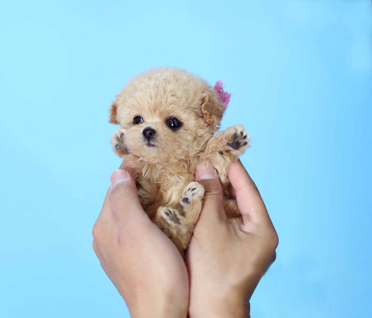 Minnie Cream Micro Poodle