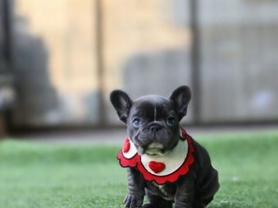 Aloha BlueTeacup French Bulldog