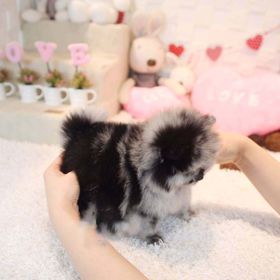 North Micro Pomeranian for Sale