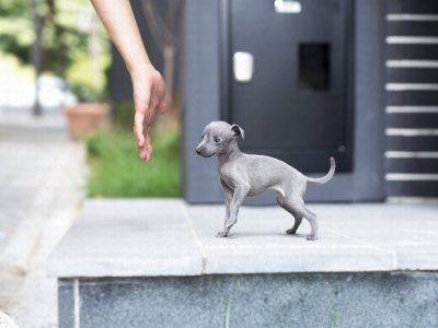 Ian BlueTeacup Italian Greyhound