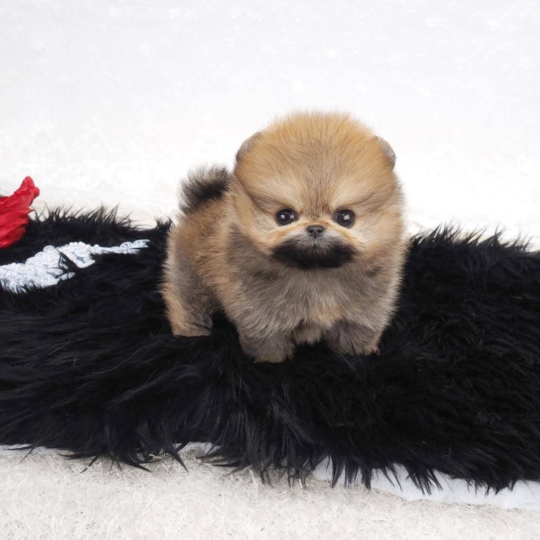 Noche Micro Pomeranian for Sale