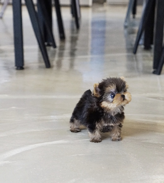 Yaz Micro Yorkie for Sale