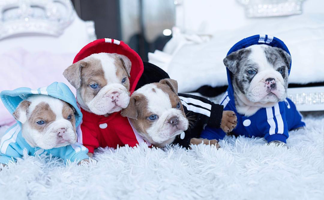 Esther Teacup English Bulldog for Sale