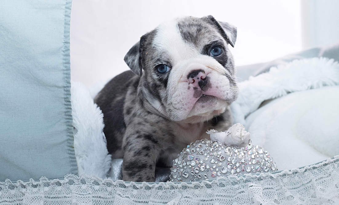 Emilio Teacup English Bulldog for Sale
