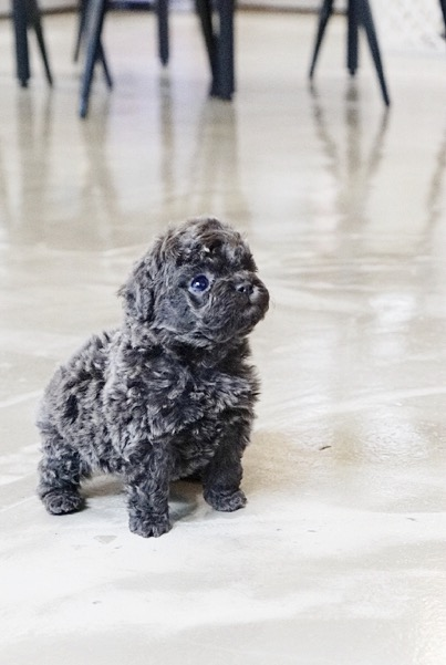 Preston Micro Poodle for Sale