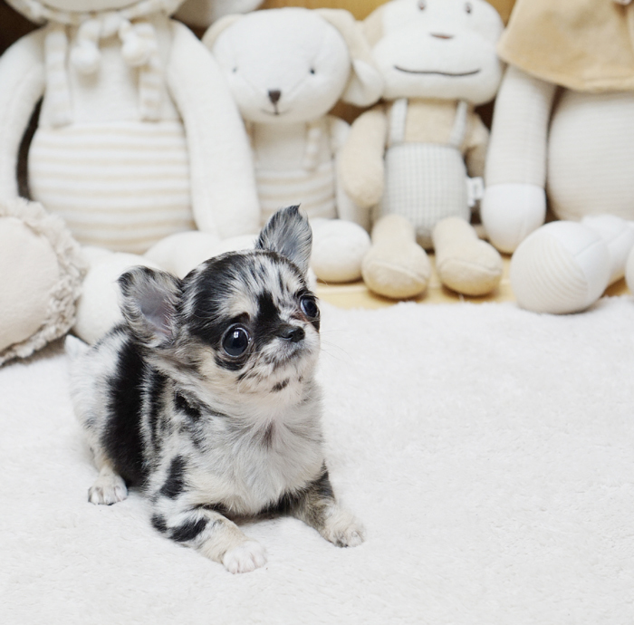 Chester Micro Chihuahua for Sale