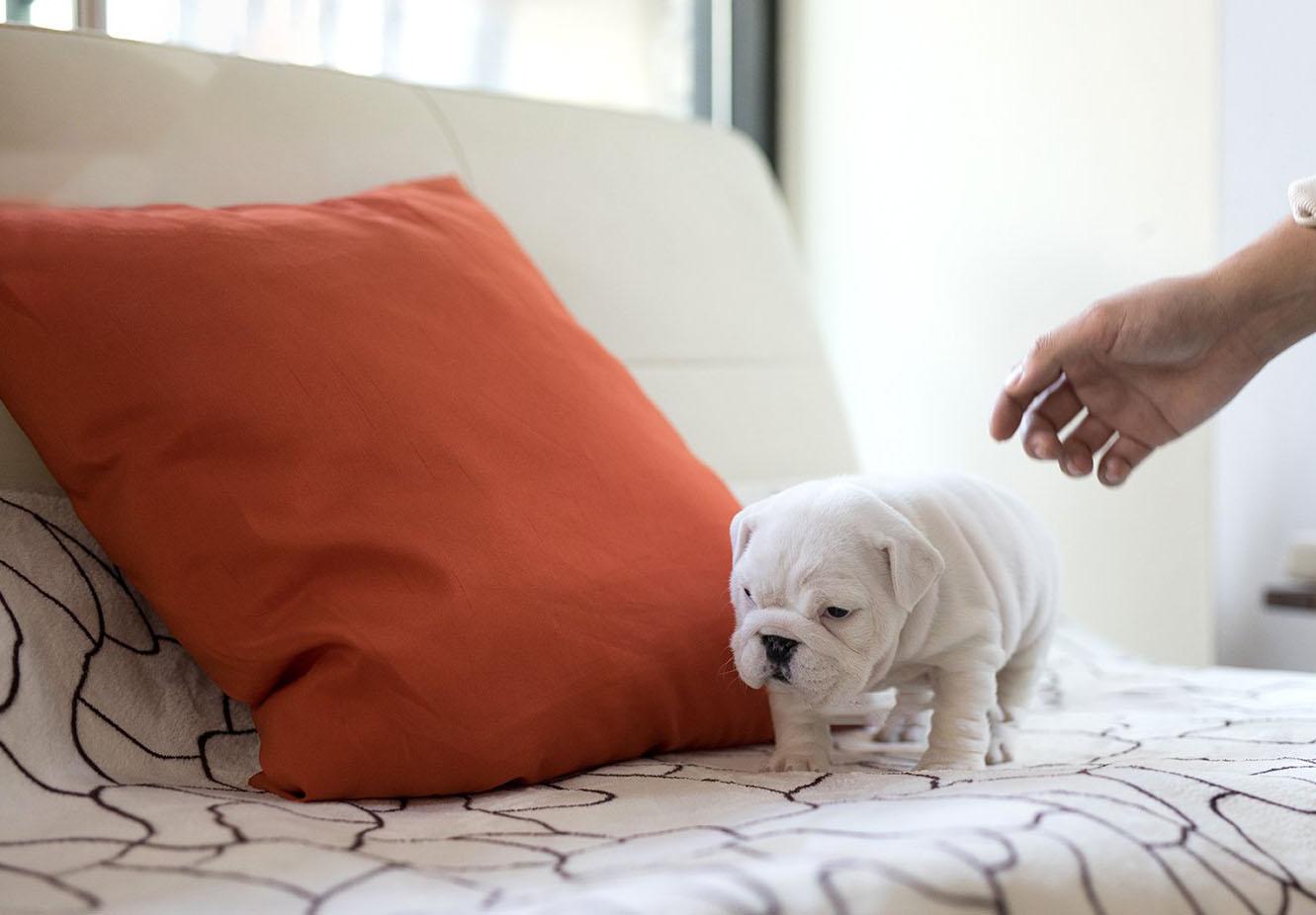 Michelin Teacup English Bulldog for Sale