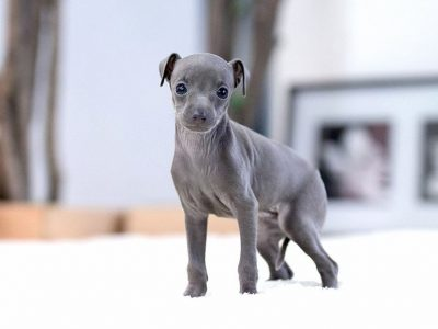 Milano BlueTeacup Italian Greyhound