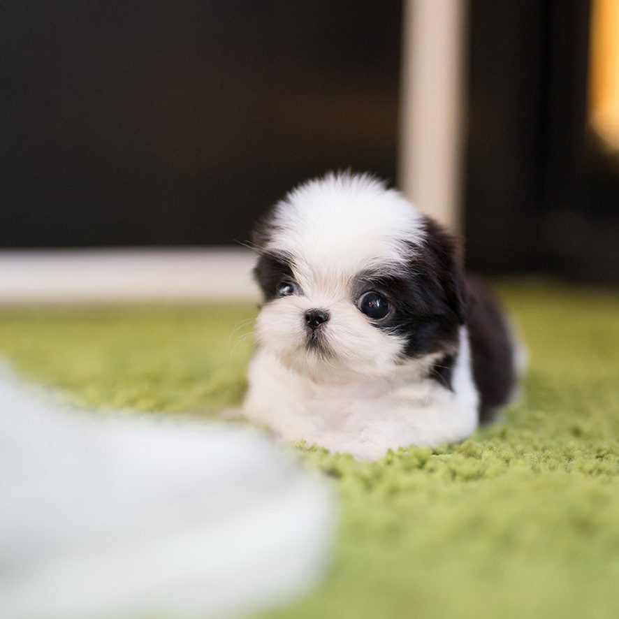 Oreo Teacup Shih Tzu for Sale
