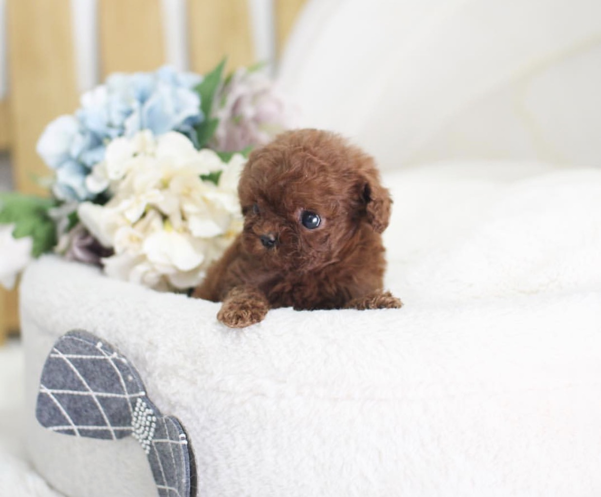 Peony Micro Poodle for Sale