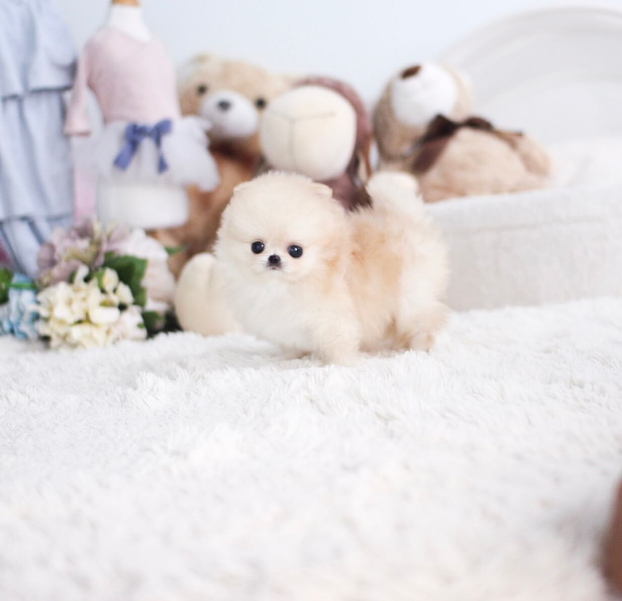 Nizzle Micro Pomeranian for Sale
