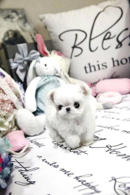 Mint Micro Maltese for Sale