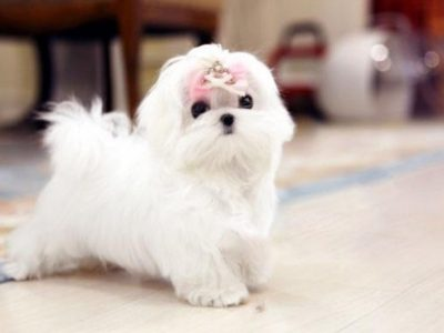 Melody WhiteMicro Maltese
