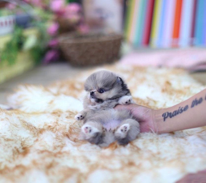 Lexi Micro Pomeranian for Sale