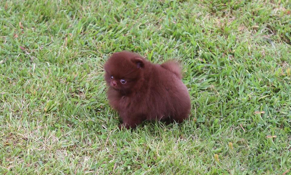 Valencia Micro Pomeranian for Sale
