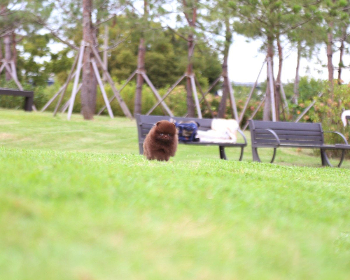 Valencia Micro Pomeranian for Sale