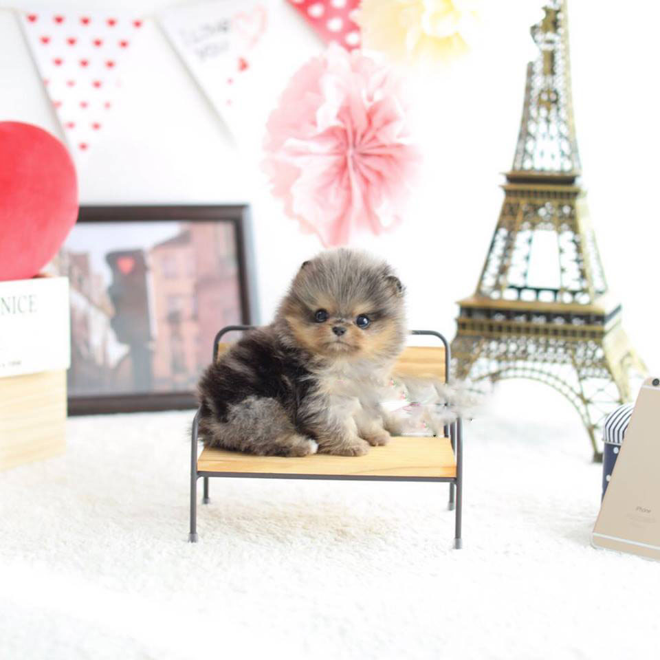 Nene Micro Pomeranian for Sale