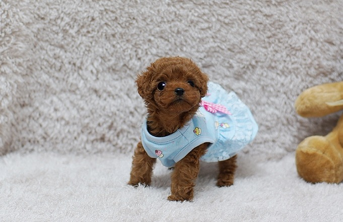 Pippa Micro Poodle for Sale