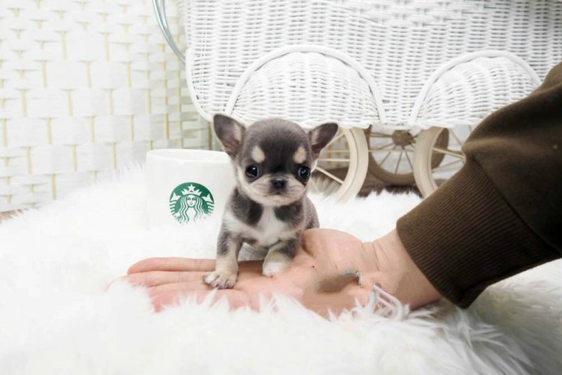 Cheeta Micro Chihuahua for Sale