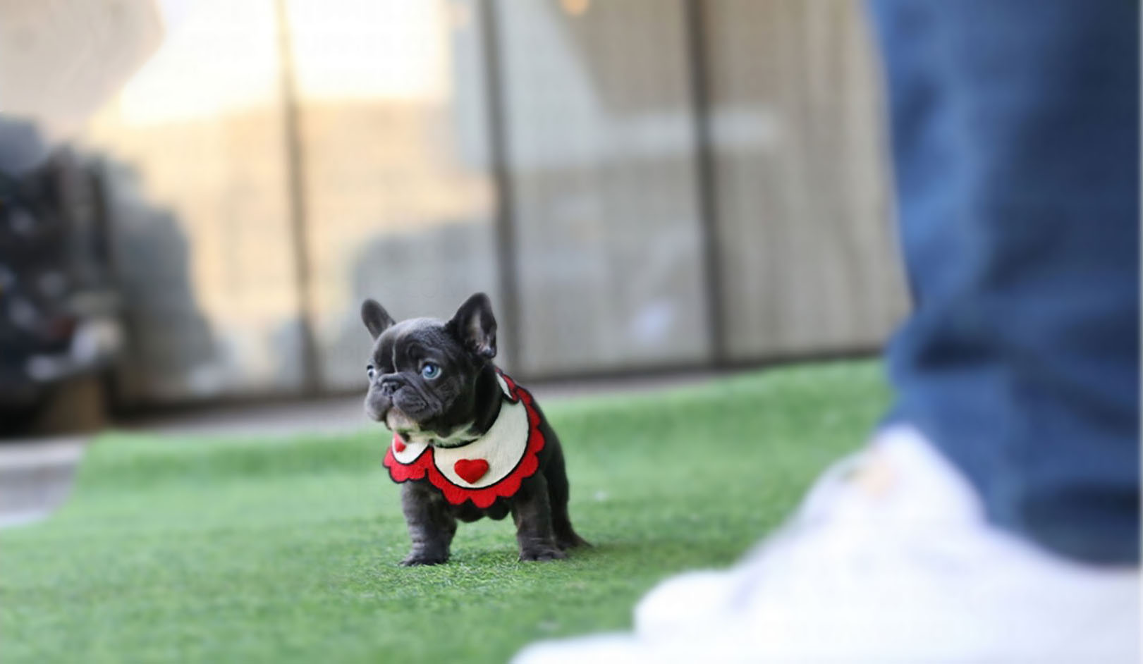 Aloha Teacup French Bulldog for Sale