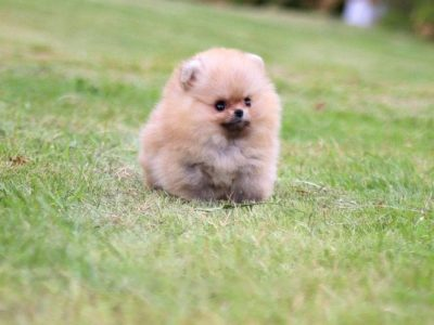 Honey ClassicMicro Pomeranian