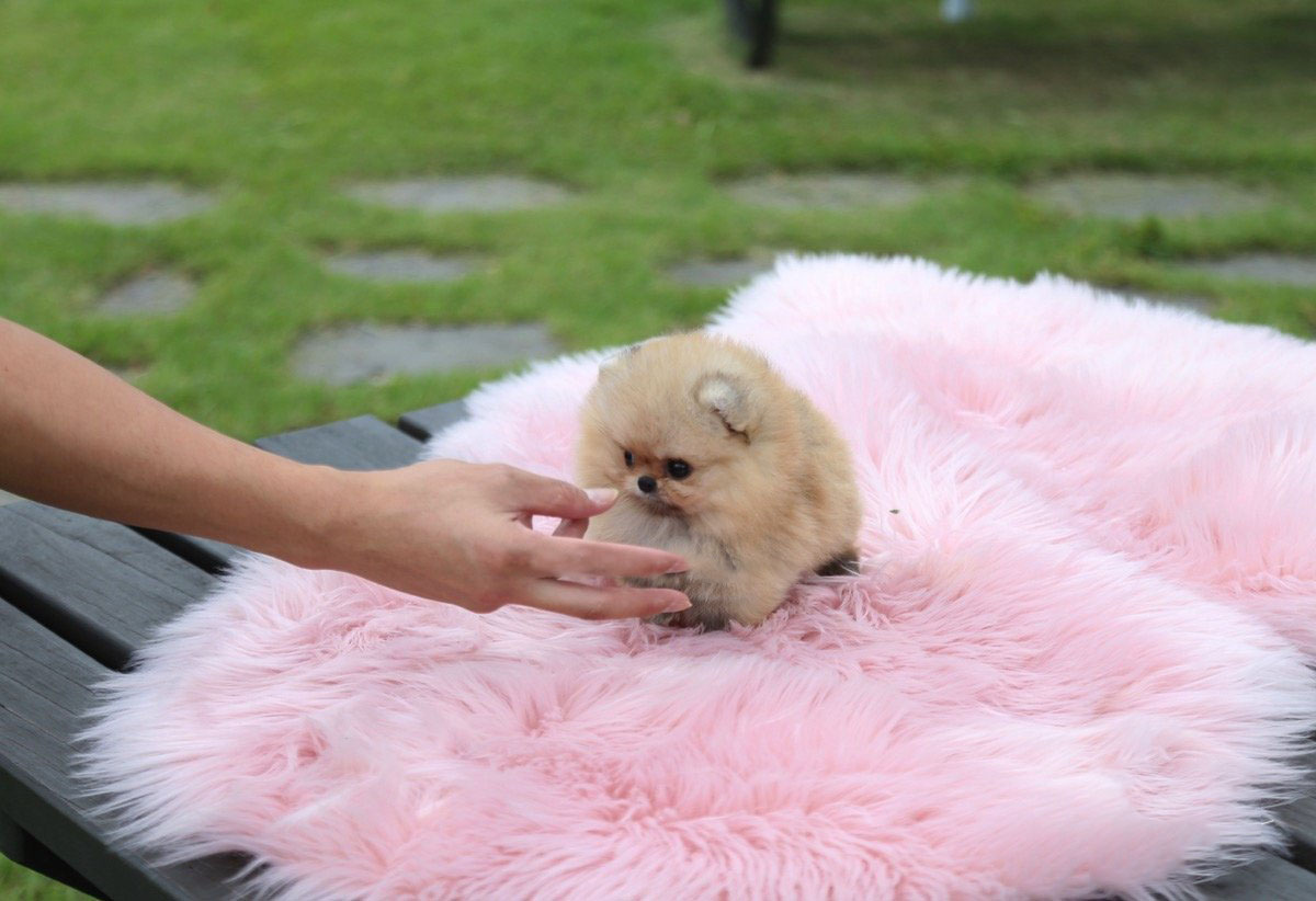Honey Micro Pomeranian for Sale