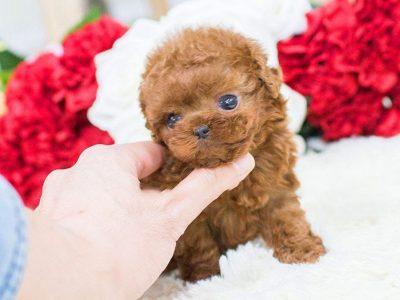 Winnie RedMicro Poodle