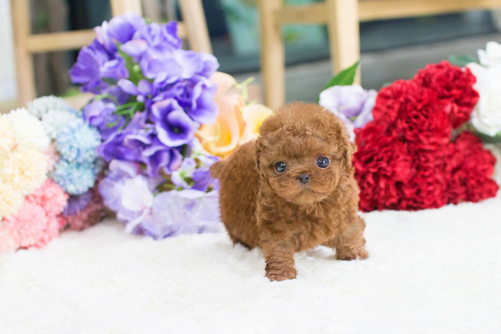 Winnie Micro Poodle for Sale