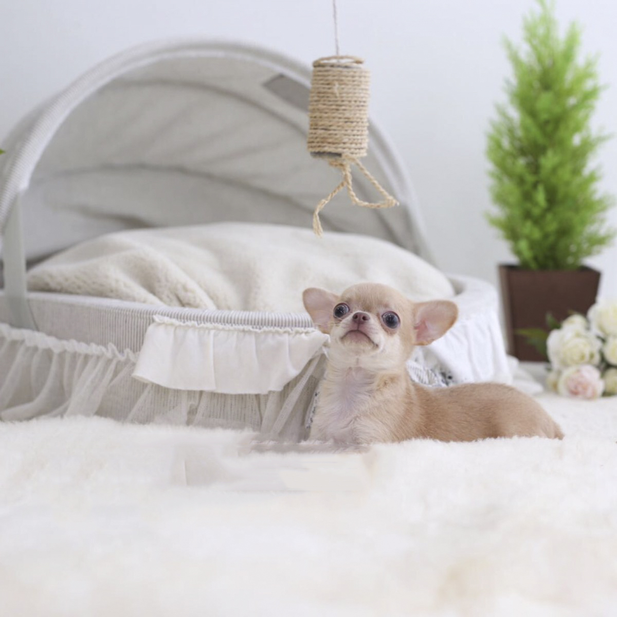 Cassie Micro Chihuahua for Sale