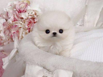 Natalie WhiteMicro Pomeranian