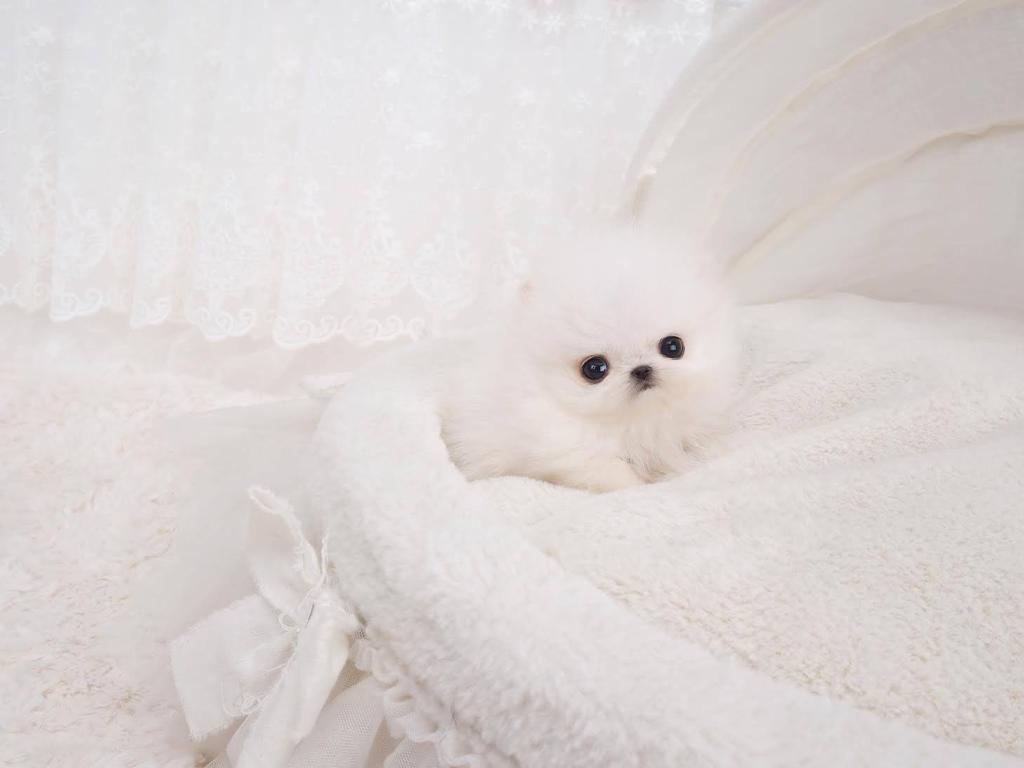 Noodles Micro Pomeranian for Sale