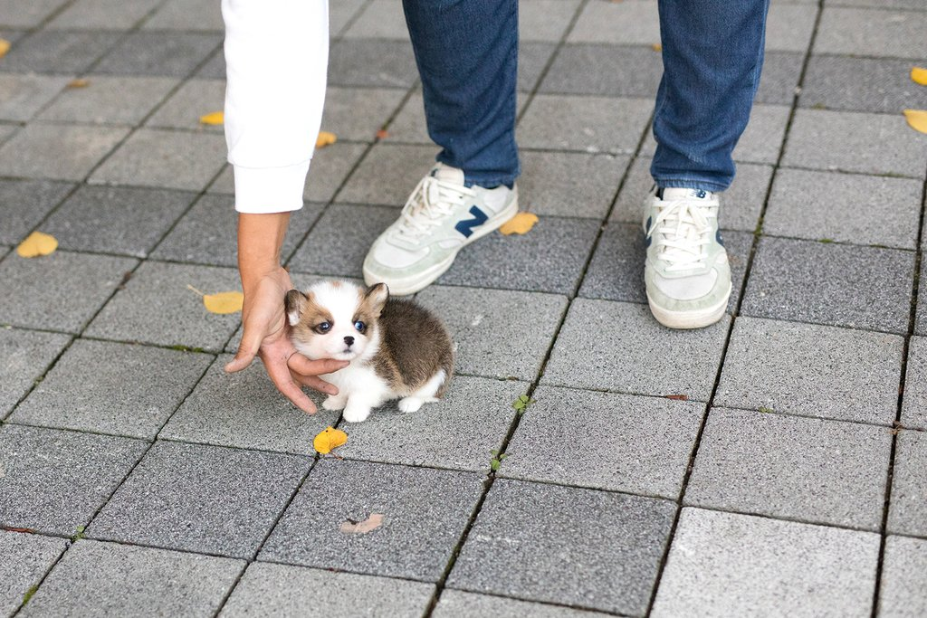 Vince Teacup Corgi for Sale