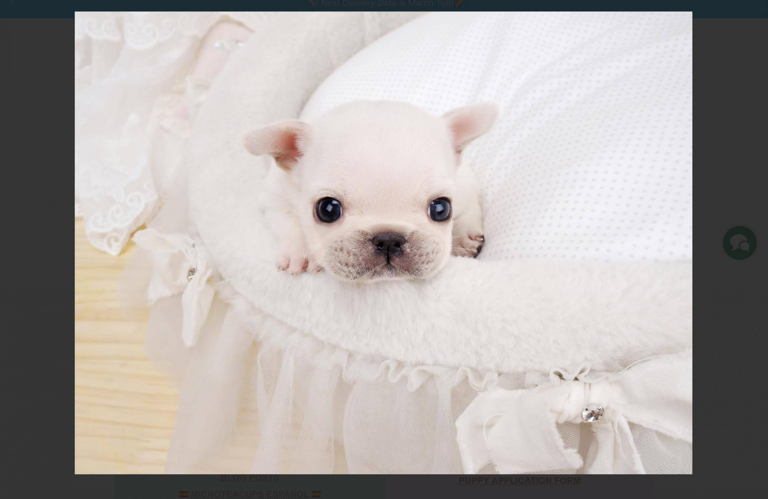 Fiona Teacup French Bulldog for Sale