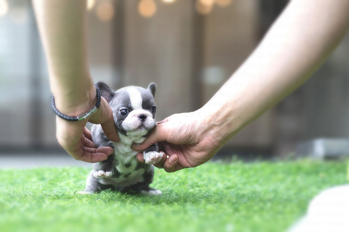 Igloo Teacup French Bulldog for Sale