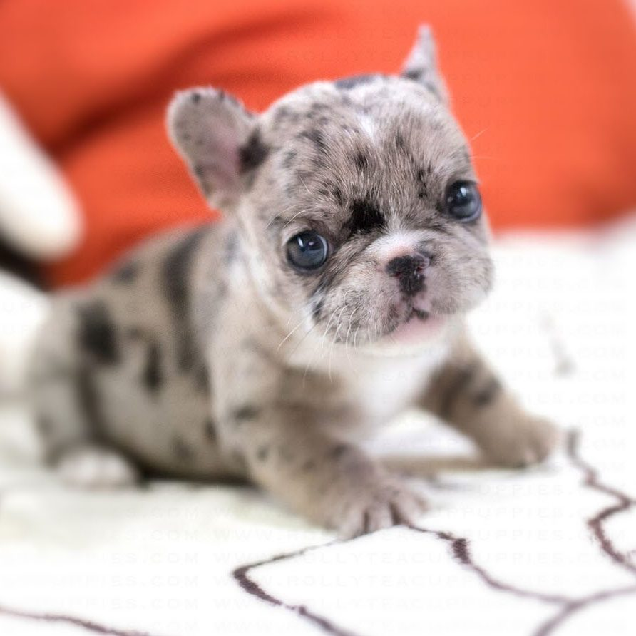 Rolly Teacup French Bulldog for Sale