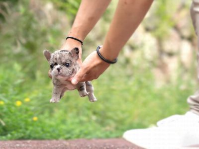 Rolly MerleTeacup French Bulldog