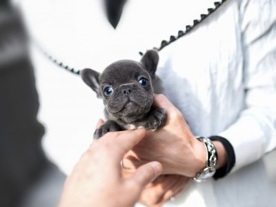 Smokey BlueTeacup French Bulldog
