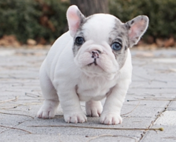 Alexis Teacup French Bulldog for Sale