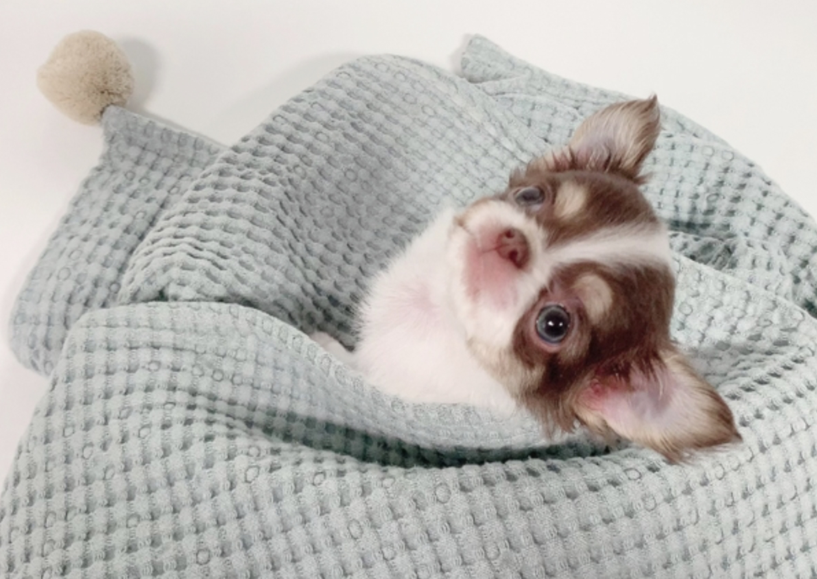 Mucho Micro Chihuahua for Sale