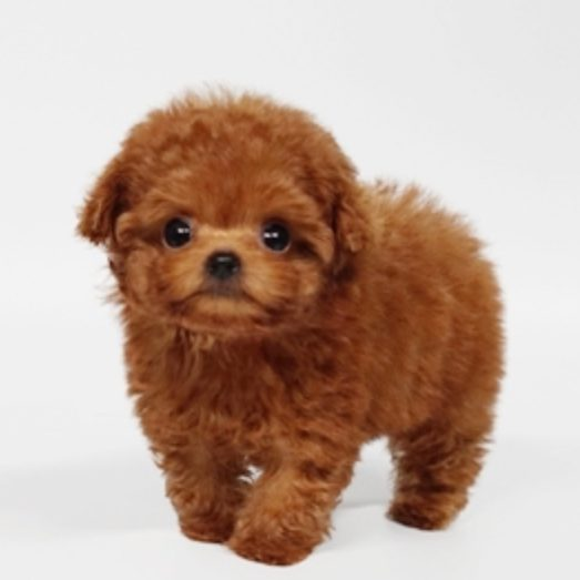 Ross Micro Poodle for Sale