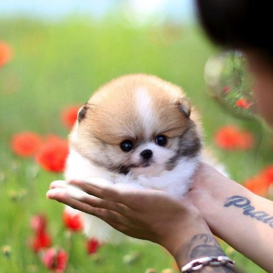 Jake Micro Pomeranian for Sale