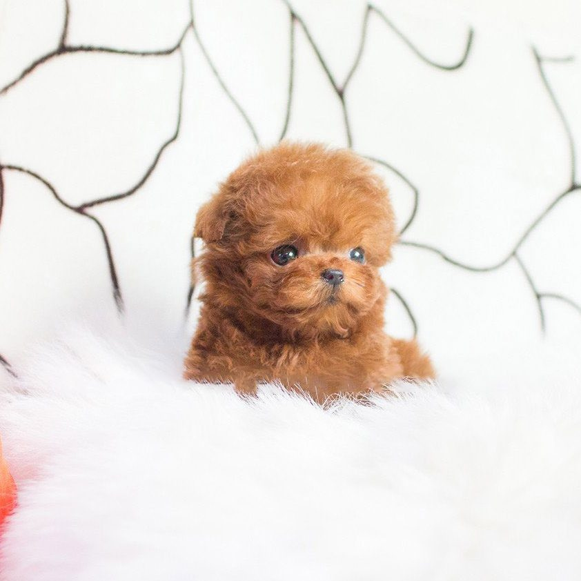 Cooper Micro Poodle for Sale