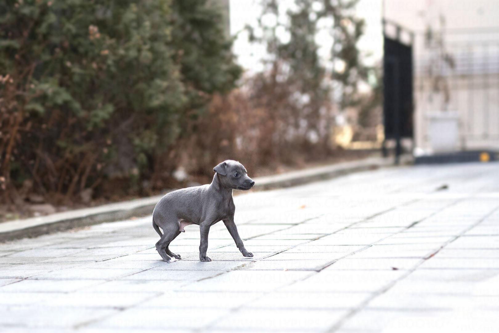 Sam Teacup Italian Greyhound for Sale