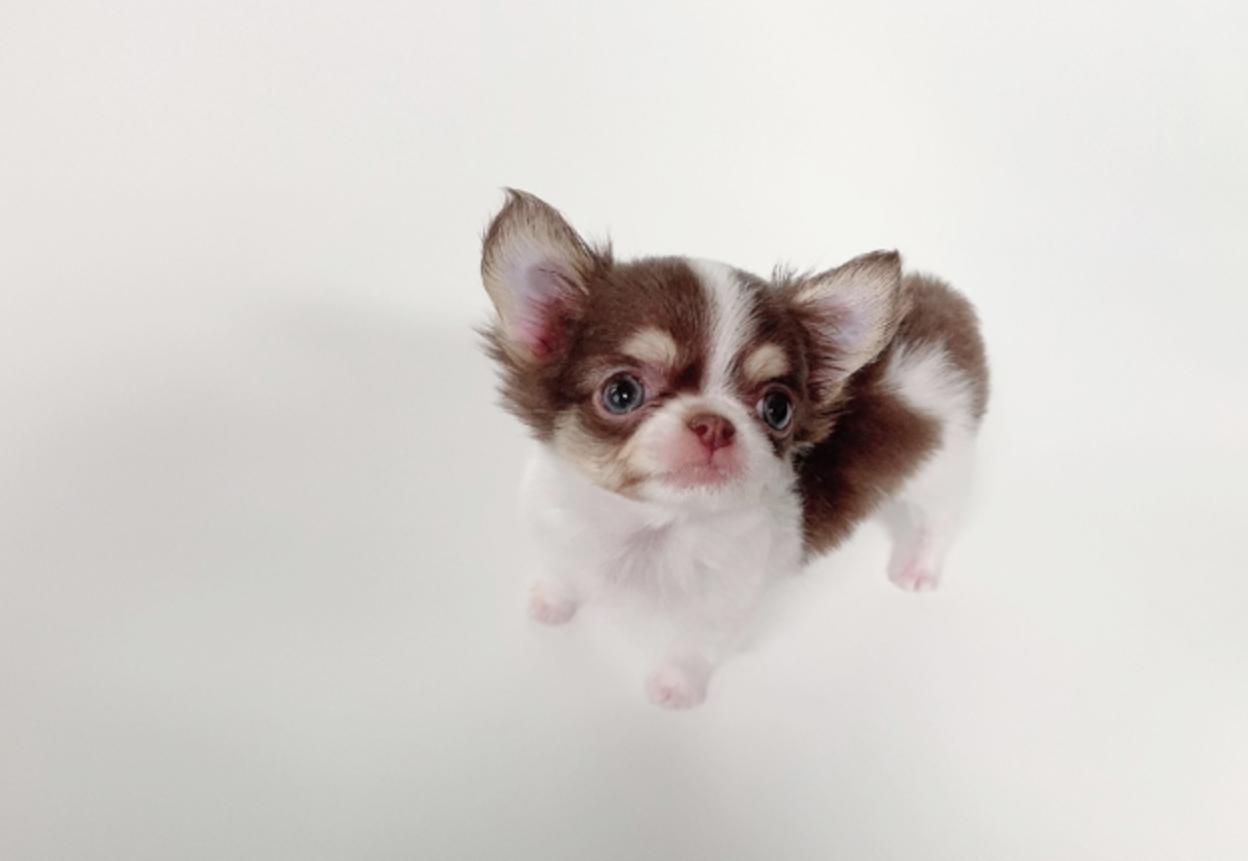 William Micro Chihuahua for Sale