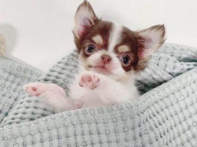 William ChocolateMicro Chihuahua