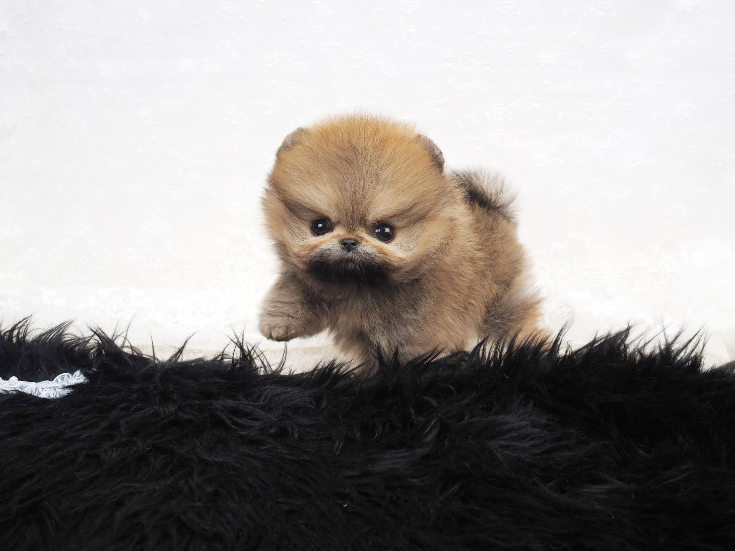 Miles Micro Pomeranian for Sale