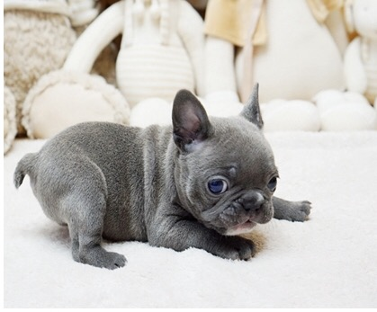 Faboo Teacup French Bulldog for Sale