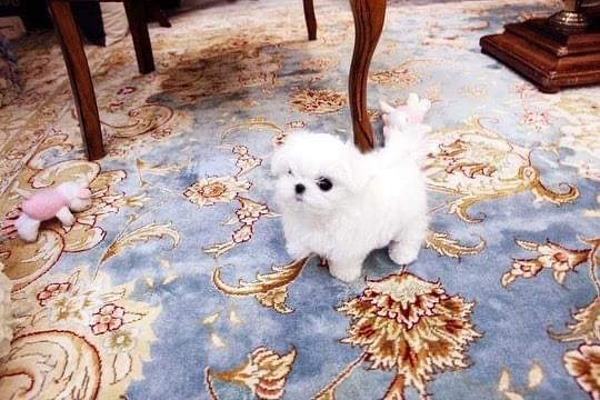 Emma Micro Maltese for Sale