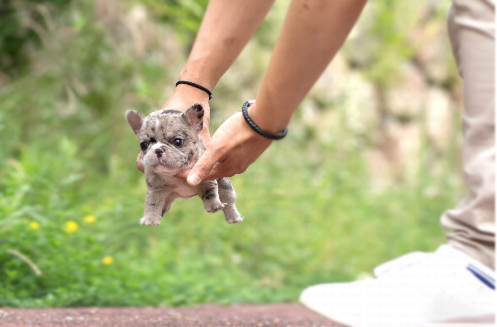 Harper Teacup French Bulldog for Sale